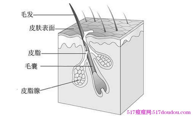 皮脂腺的构成、分泌和排泄