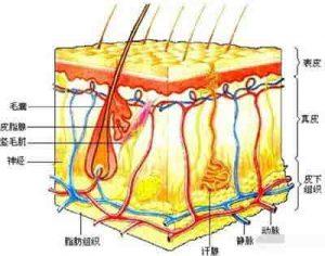 想要更好祛痘需要了解皮肤构成