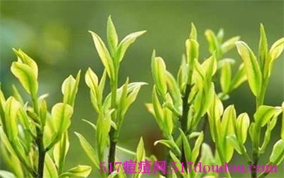 茶树精油去痘祛痘有效吗?茶树精油去痘安全吗?